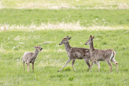 A smaller deer stands in front of two larger white tail deer near NEwman Lake, Washington.