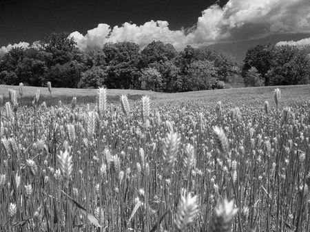 Wheat Field in Black and White Stock Photo - 208426
