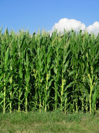 corn stalk: Corn Stalks at edge of Field Stock Photo