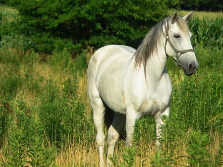 frontal view: Beautiful White Horse, close frontal view at an angle