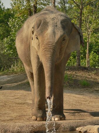 frontal view: Full Frontal View of Asian Elephant Drinking