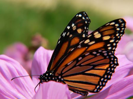 profile view: profile view of monarch butterfly