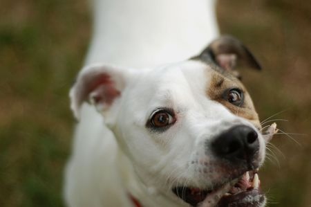 attention grabbing: white dog pulling on stick, shallow focus on dogs eyes Stock Photo