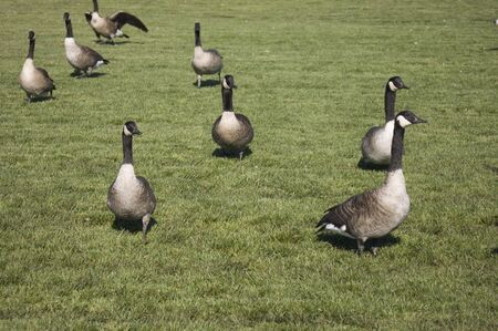geese on a manicured lawn Stock Photo