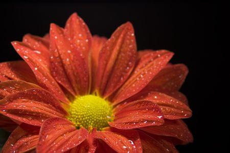 dewy: Fresh, dewy, red chrysanthemum on black background Stock Photo