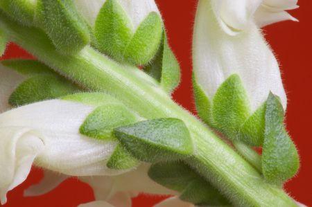 snapdragon: Snapdragon Macro, detail of flowers