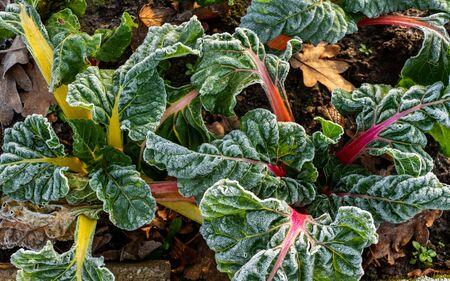 Close up of rimed chard plant (Beta Vulgaris Vulgaris), aka Swiss chard, spinach bite, leaf bite