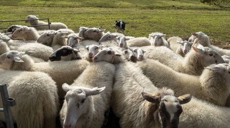 Shepherd dog driving a flock of sheep together