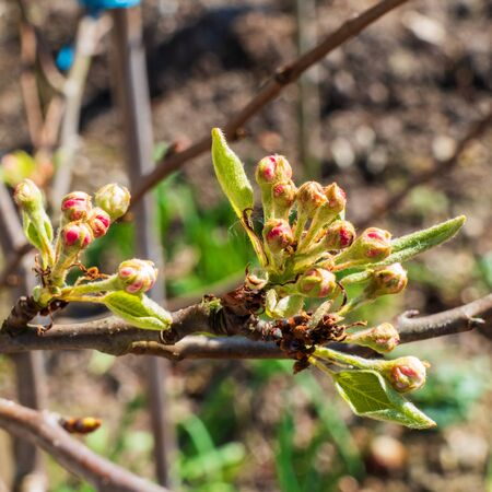 Close up of pear flower buds