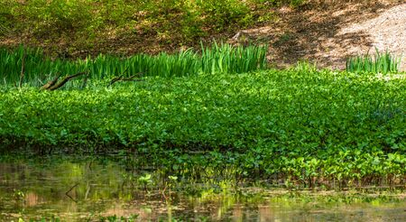 Pond with bogbean (Menyanthes trifoliata) in the Solse gat near Putten, Netherlands Imagens