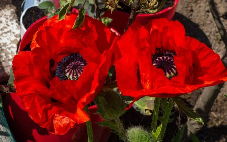 Close up of large poppy flowers (Papaver orientale)