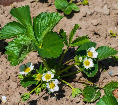 Close up of flowering strawberry plant (Fragaria)