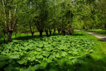 Landscape with butterburs (Petasites hybridus) and pollard willows in a city park in Amerfoort, Netherlands Stock fotó