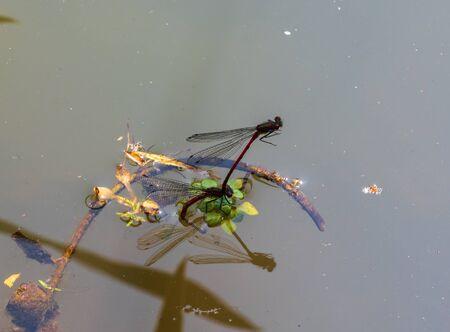 Close up of damselflies mating