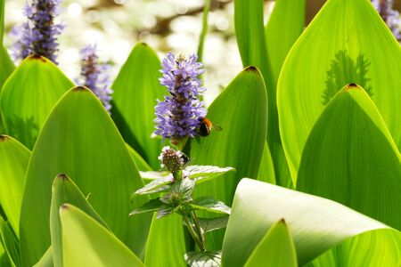 Close up of pickerelweed (Pontedria Cordata) flower with a bumblebee