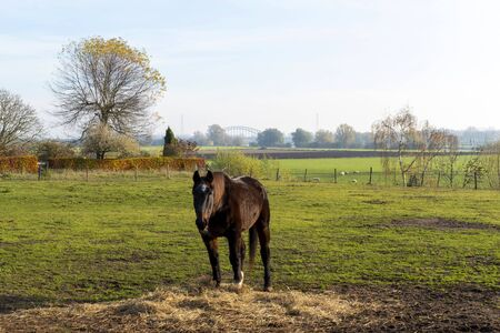Brown horse in a meadow near Oosterbeek, Netherlands Banco de Imagens