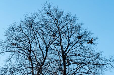 Silhouettes of starling birds resting in a tree