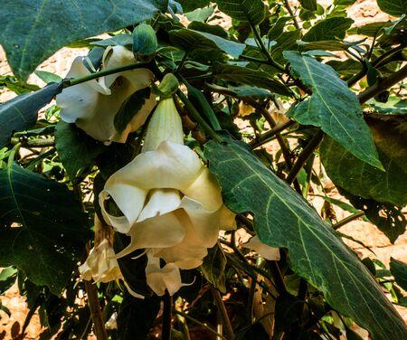 Close up of Angel's trumpet (Brugmansia) Stok Fotoğraf