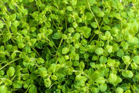 Close up of oregano growing (Oreganum vulgare)