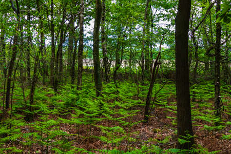 Forest view with royal ferns (Osmunda regalis)
