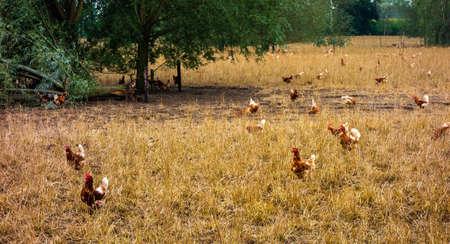 Chckens walking around in a chicken farm