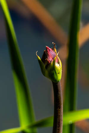 Close up of flower bud of Grass rush (Butomus umbellatus)