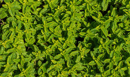Close up of Spearmint growing (Mentha spicata) 版權商用圖片
