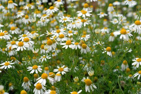 Camomile flowers Banco de Imagens