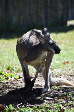 Kangaroo Imagens