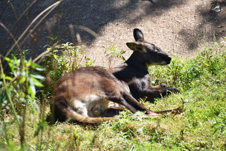 Kangaroo Resting