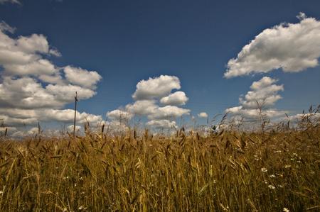 golden harvest under blue cloudy sky