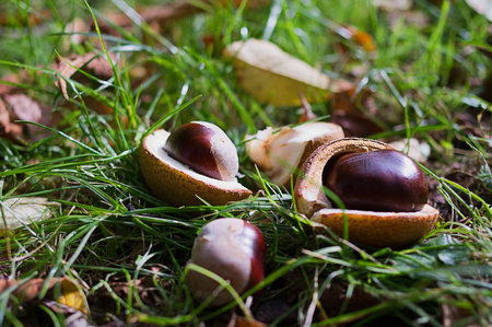 Chestnuts lying on the ground in autumn