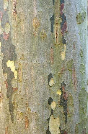 Bark of Platanus acerifolia, is a tree in the genus Platanus. Stock Photo