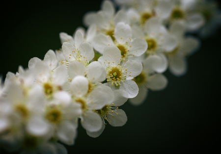 photo of white cherry tree flower in spring  Stock Photo