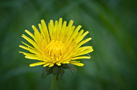 Dandelion on a natural green background