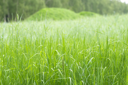 green grain, forest background