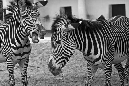 Funny Zebras Stock Photo