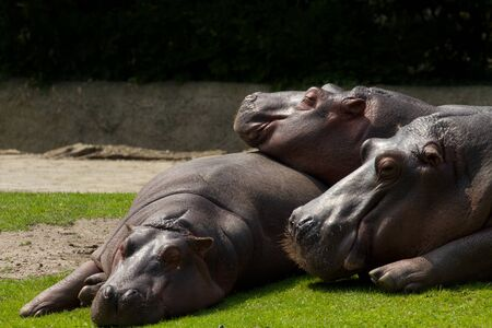 Tired Hippos