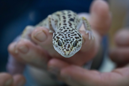 lacertidae: little lizard Stock Photo