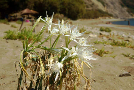 african lily on beach, Zakynthos island, Greece photo