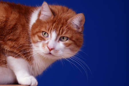 portrait of ginger European cat, Poland Stock Photo - 15842240