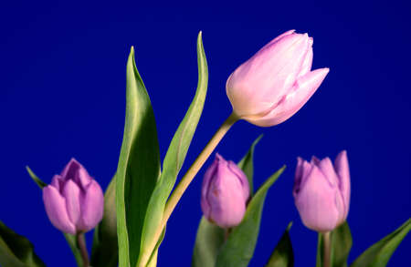 Violet tulip flower  on blue background photo