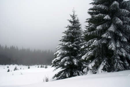 snowcapped: snow-capped spruces in Carpathian mountains, Poland Stock Photo