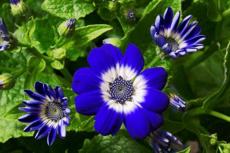 senecio: Senecio flower, Poland