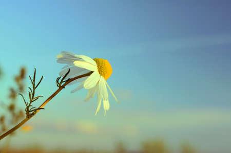 wielkopolska: daisy on meadow at autumn, Poland