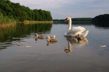 young little swans in Poland photo