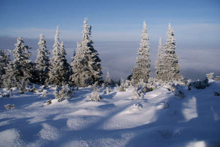 spruces in mountains at winter, Poland photo