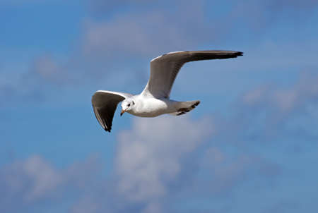 flying white seagull, Poland, Baltic