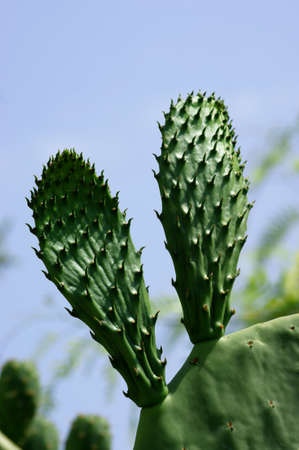 prickly: prickly pear Stock Photo