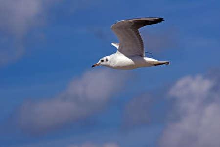 flying white seagull, Poland, Baltic photo